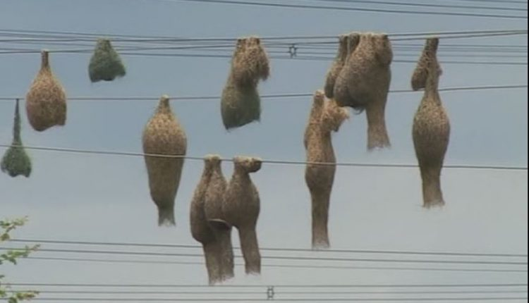 Weavers bird nest on electric wires
