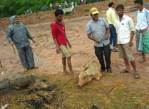 cattle death