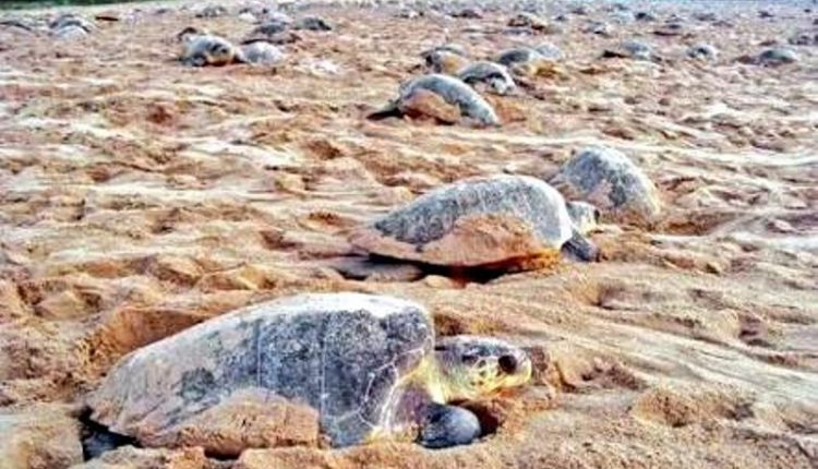 Olive ridleys create all-time record with over 4 lakh nesting in Rushikulya
