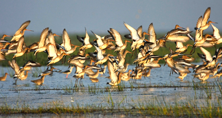Two Poachers Arrested With 57 Bird Carcasses In Chilika