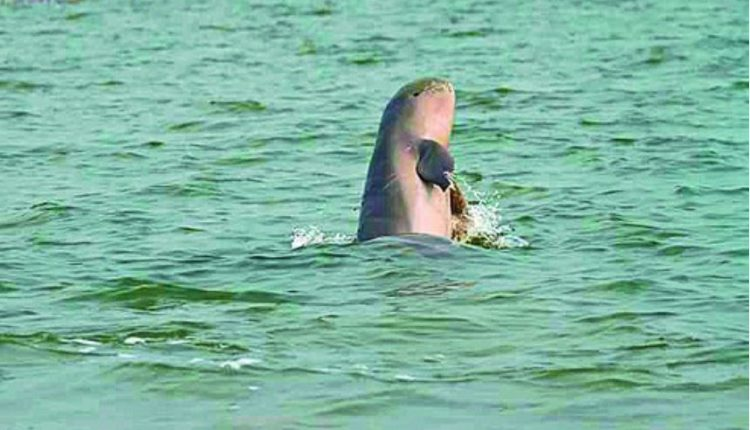 Dolphin count drops in Odisha by about 50 % in a year