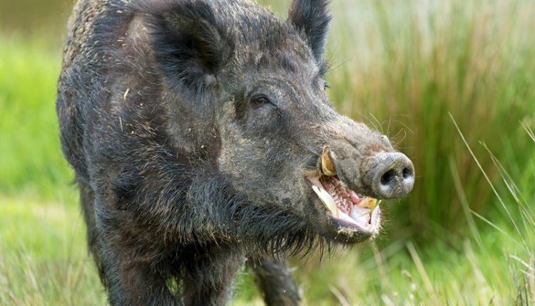 Infant loses her right palm in wild boar attack