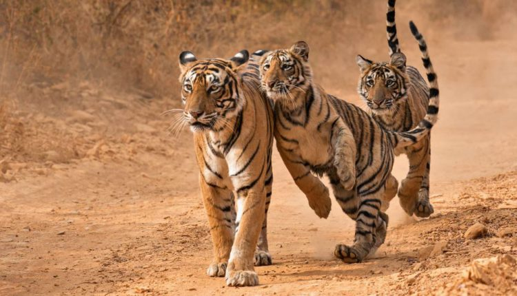 Tiger Count Reaches 2,967 In India, Occupancy Increases In MP, AP