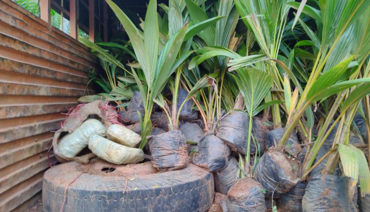 Ganja Worth Rs 1.92 crore Seized In Truck Transporting Plant Saplings