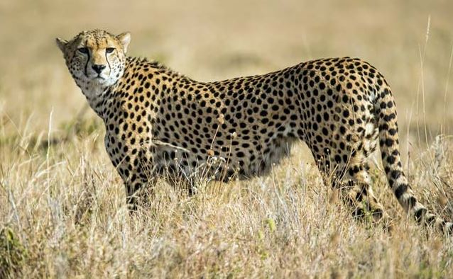 African Cheetah in India