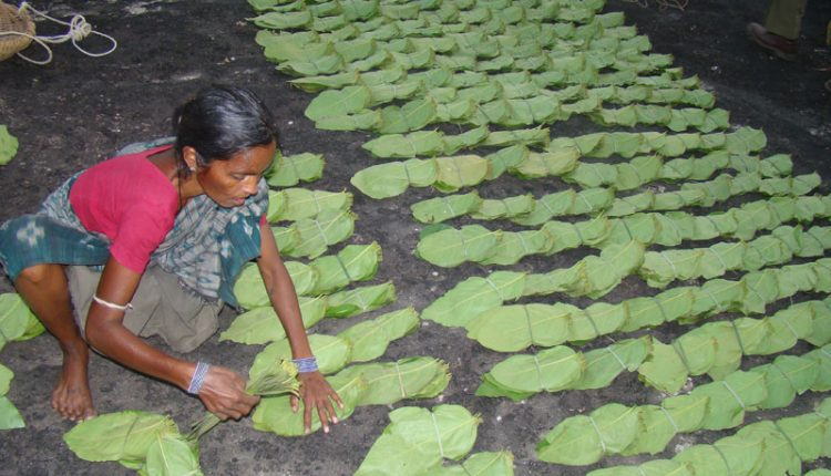 Odisha Govt announces bonus for Kendu leaf workers