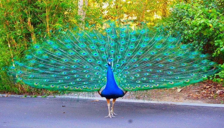 Peacocks blocking the road