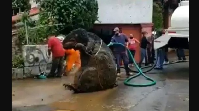 Giant Rat Found In Mexico Drain