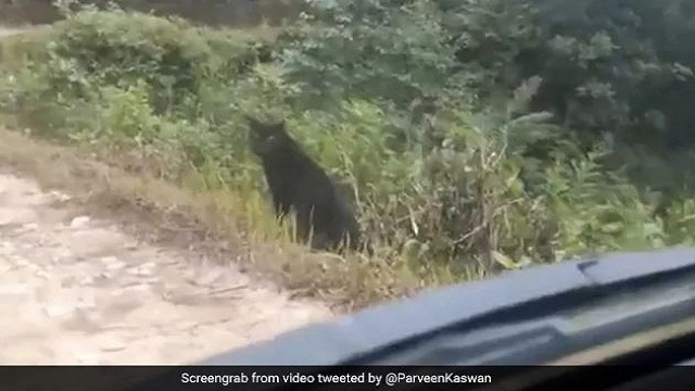 Rare Black Panther Spotted Near Roadside, Video Goes Viral; Watch
