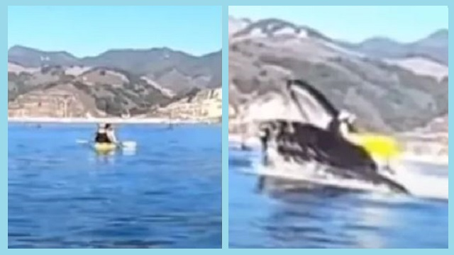 Humpback whale emerges from water & nearly swallows kayakers