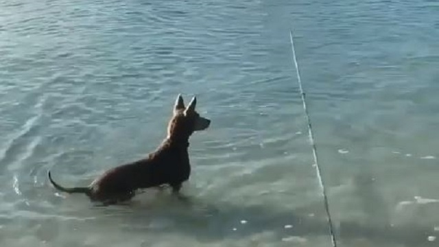 Incredible Viral Video! Dog Jumps Into Water To Save Owner From Shark Attack; Watch