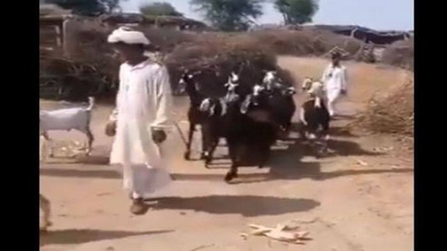 Viral Video Of Goats Dancing
