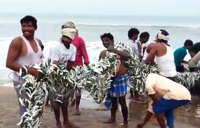 dead fishes in odisha beach