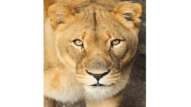 lioness tests covid positive