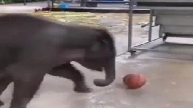 baby elephant playing with ball